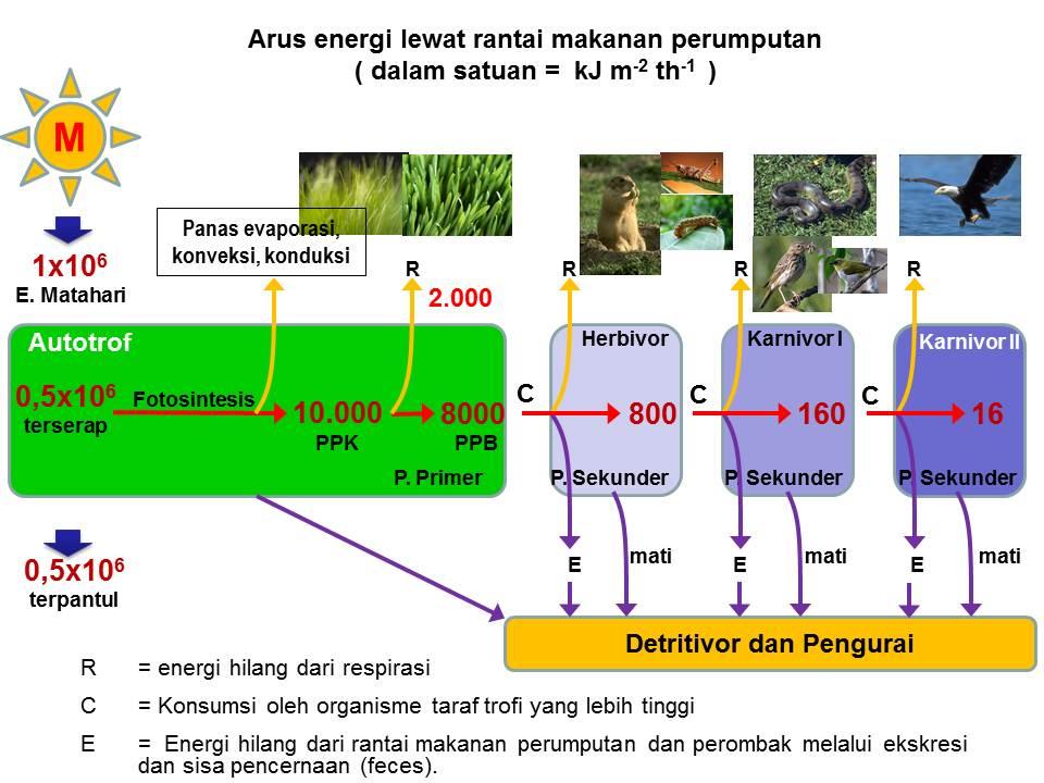 Skema bagan aliran energi dalam ekosistem ponorogo bumi reog skema diatas menggambarkan aliran energi dalam ekosistem energi masuk dari sumber energi utama matahari menujumasuk melalui organisme autotrof ccuart Image collections